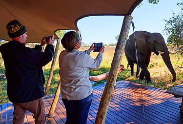 Tourists with cell phones photographing elephant (Loxodonta africana) approaching guest lodge, Duba Expedition Camp, Duba Plains concession, Okavango delta, Botswana, Southern Africa