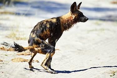 African wild dog (Lycaon pictus) defecating. Moremi National Park, Okavango delta, Botswana, Southern Africa