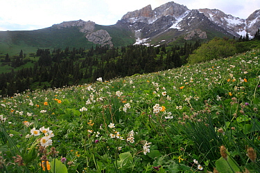 Aki Bulak site in Inner Tien-Shan Mountains region, with Tian Shan spruces and sub alpine meadow with Anemone sp. Western Tien-Shan UNESCO Natural World Heritage Site, Kyrgyzstan Republic, June 2016