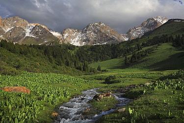 Ak Bulak, Inner Tien-Shan Mountains region, with Schrenk's spruce (Picea schrenkiana) and sub alpine meadows. Western Tien-Shan UNESCO Natural World Heritage Site, Kyrgyzstan Republic, June 2016