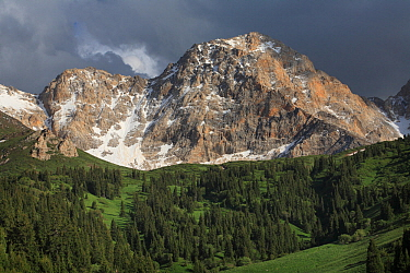 Ak Bulak Inner Tien-Shan Mountains region, with Schrenk's spruce (Picea schrenkiana) and sub alpine meadows. Western Tien-Shan UNESCO Natural World Heritage Site, Kyrgyzstan Republic, June 2016