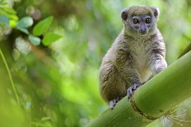 Northern bamboo lemur (Hapalemur occidentalis) on bamboo. Rainforests of the Atsinanana UNESCO World Heritage Site.Madagascar, December.