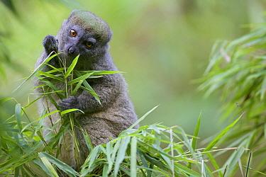 Northern bamboo lemur (Hapalemur occidentalis) eating bamboo. Rainforests of the Atsinanana UNESCO World Heritage Site. Marojejy National Park, Madagascar, December.