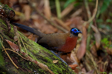 Red-breasted Coua (Coua serriana). Rainforests of the Atsinanana UNESCO World Heritage Site. Marojejy National Park, Madagascar, December.