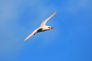Red-tailed tropicbird (Phaethon rubricauda) in flight, Malabar Hill, Lord Howe island, Lord Howe Island Group UNESCO Natural World Heritage Site, New South Wales, Australia