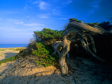 Ancient Phoenician juniper tree  (Juniperus phoenicea) growing on the beach at Es Cavallet, Las Salinas (Ses Salines) Natural Park, Ibiza biodiversity and culture UNESCO World Heritage Site,  Spain.