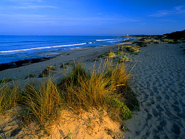 European beachgrass (Ammophila arenaria) growing in the coastal dunes of es Cavallet beach, Las Salinas (Ses Salines) Natural Park Ibiza, biodiversity and culture UNESCO World Heritage Site, Ibiza, Sp...