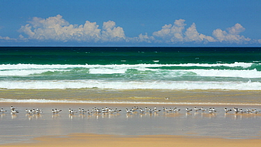 Greater crested terns (Thalasseus bergii) along shore of  Seventy Five Mile beach,  Fraser Island UNESCO World Heritage Site. Queensland, Australia, November.