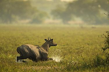 Nilgai (Boselaphus tragocamelus) bull wading through swamp, Keoladeo / Bharatpur National Park UNESCO Natural World Heritage Site,  India