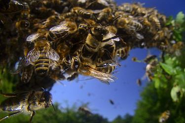 Honey bee (Apis mellifera) swarm. Kiel Germany, June
