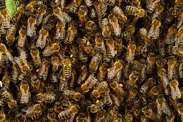 Honey bee (Apis mellifera) swarm. Kiel Germany, June.