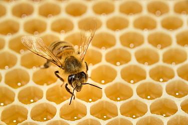 Honey bee (Apis mellifera) on comb with honey, Kiel, Germany, June.