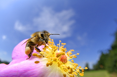 Honeybee (Apis mellifera) on rose flower, Kiel, Germany, July.