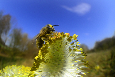 Honey bee (Apis mellifera) collecting pollen on Goat willow (Salix caprea) Kiel, Germany, April.