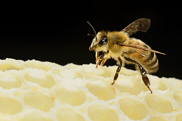 Honey bee (Apis mellifera) on freshly made honey comb, Kiel, Germany, May.