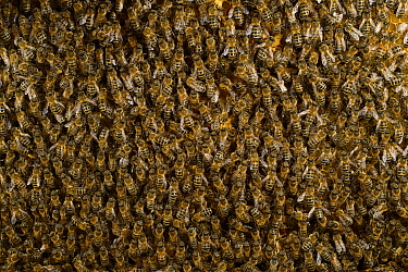 Honey bee (Apis mellifera) swarm, Kiel, Germany, May.