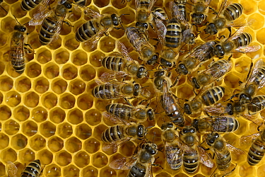 Honey bee (Apis mellifera) queen standing surrounded by workers,  Kiel, Germany, May.