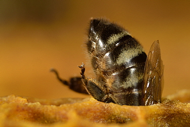 Honey bee (Apis mellifera) feeding larvae in brood cells, Kiel, Germany