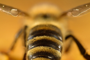 Honeybee (Apis mellifera) rear view of abdomen, Kiel, Germany.