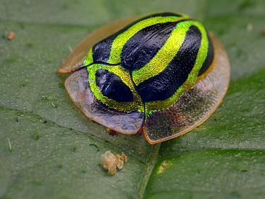 Tortoise beetle (Coptocycla ruficornis) Sao Luis do Paraitinga, Sao Paulo,  Atlantic Forest South-East Reserves UNESCO World Heritage Site, Brazil