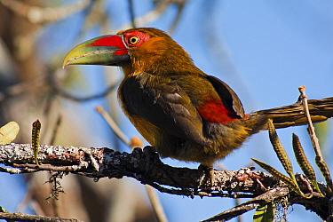 Saffron toucanet (Pteroglossus bailloni) Itatiaia National Park, Itatiaia, Rio de Janeiro, Brazil.