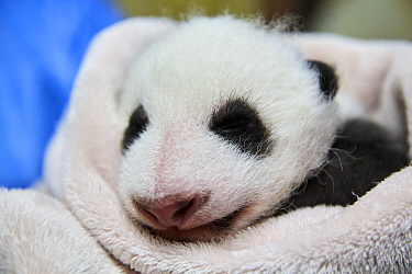 Giant panda (Ailuropoda melanoleuca) baby age one month, sleeping on blankets in incubator, Beauval Zoo, France. September 2017
