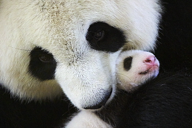 Giant panda (Ailuropoda melanoleuca) female, Huan Huan, holding baby age one month, Beauval Zoo, France.  September 2017.