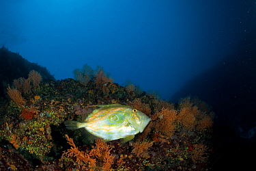 John Dory (Zeus Faber) in front of a wall covered on Yellow gorgonian (Eunicella cavolini) Stupiste Out dive site, Vis Island, Croatia, Adriatic Sea, Mediterranean