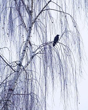 American Crow (Corvus brachyrhynchos) perches on the branches of a weeping birch tree. Washington USA