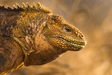 Galapagos land iguana (Conolophus subcristatus) portrait on North Seymour Island, Galapagos.