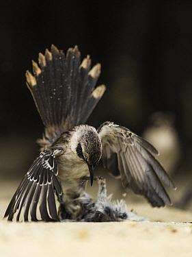 Galapagos mockingbird (Mimus parvulus) in territorial fight on Genovesa Island, Galapagos.