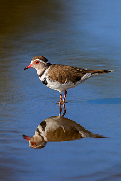 Three-banded plover (Charadrius tricollaris), Kruger National Park, South Africa.