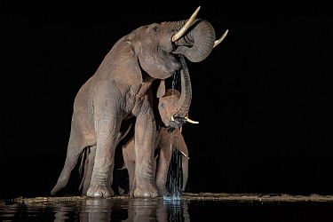 Elephants (Loxodonta africana) at waterhole drinking at night, Zimanga Private Game Reserve, KwaZulu-Natal, South Africa.
