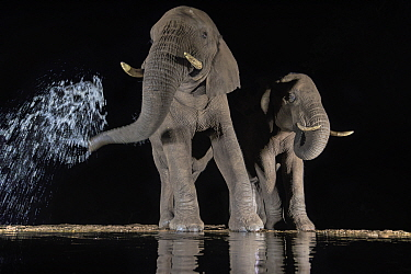 Elephants (Loxodonta africana) at waterhole drinking at night. One spraying water from trunk, Zimanga Private Game Reserve, KwaZulu-Natal, South Africa.