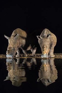 White rhino (Ceratotherium simum) at waterhole drinking at night, Zimanga Private Game Reserve, KwaZulu-Natal, South Africa.