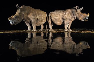 White rhino (Ceratotherium simum) at waterhole  at night, Zimanga Private Game Reserve, KwaZulu-Natal, South Africa.