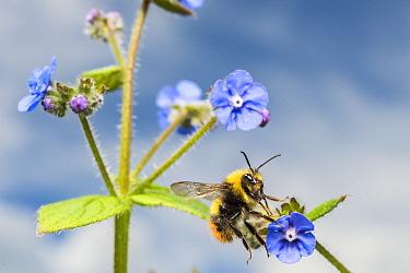 Early bumblebee (Bombus pratorum) feeding on Green alkanet (Pentaglottis sempervirens) Monmouthshire, Wales, UK. May.