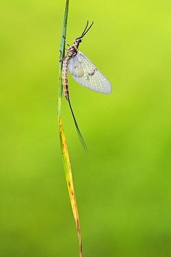 Mayfly (Ephemera danica) male, River Usk, Monmouthshire, Wales, UK, May.
