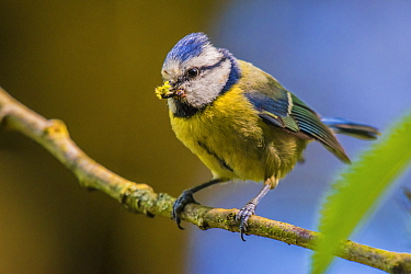 Blue tit (Cyanistes caeruleus) carrying insect prey to nest, Monmouthshire, Wales, UK. May.