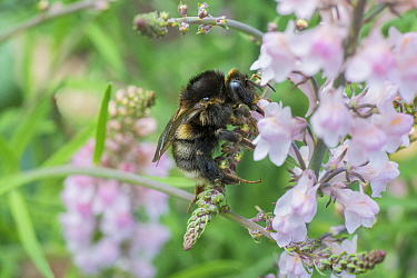 Field cuckoo bee (Bombus campestris) feeding on Toadflax (Linaria purpurea) Monmouthshire, Wales, UK. June.