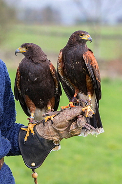 Harris hawks (Parabuteo unicinctus) on the glove, captive falconry bird, Cumbria, UK, April 2016