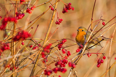 Robin (Erithacus rubecula) with winter berries, Caerlaverock Wildfowl & Wetland Trust WWT reserve, Dumfries & Galloway, Scotland, November.