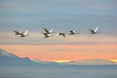 Whooper swans (Cygnus cygnus), flying at sunset, Caerlaverock Wildfowl & Wetland Trust WWT, Dumfries & Galloway, Scotland, November 2016