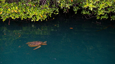 Green sea turtle (Chelonia mydas)  swimming near  mangroves on the west coast of Isabela Island, Galapagos.