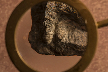 Fossil of Dendropupa vetusta, the worlds first known land snail, featured in Charles Darwin's The Origin of Species and convinced Darwin that coal was formed on land. Joggins Fossil Cliffs UNESCO Worl...