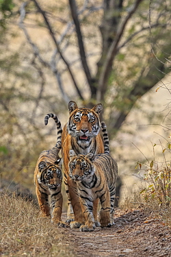 Bengal tiger (Panthera tigris) tigress Noor with cubs , Ranthambhore, India