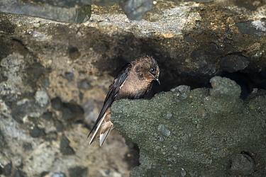 Galapagos martin (Progne modesta), female near nest entrance in shallow sea cave, Galapagos.