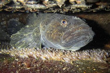 Dark sleeper (Odontobutis obscura) female protecting eggs, Gifu, Japan.