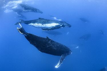 Humpback whale (Megaptera novaengliae australis) 13 whales in group heat run, Vava'u, Tonga. September.