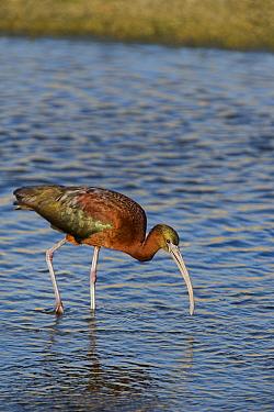 Glossy ibis (Plegadis falcinellus) in breeding plumage, feeding in the Los Angeles River, California, USA. June.